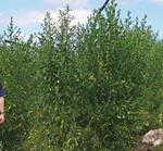 C48 Ant ilicifolia