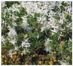 C58 Clematis linearifolia