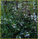 FB7 Sca anchusifolia